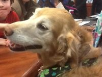 Belle, the therapy dog