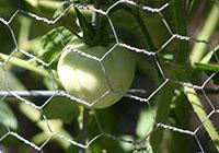 green tomato in garden