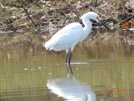 Great Egret, photo by Katy Wooding